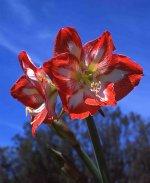 Czerwone kwiaty amarylis